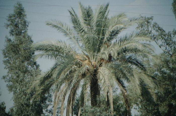 Irak, Aqar Quf, Palme