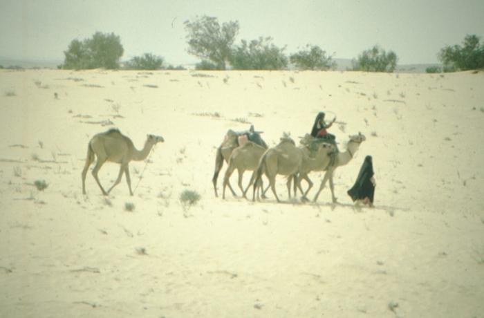 Sinai, Beduinen, Reitkamele
