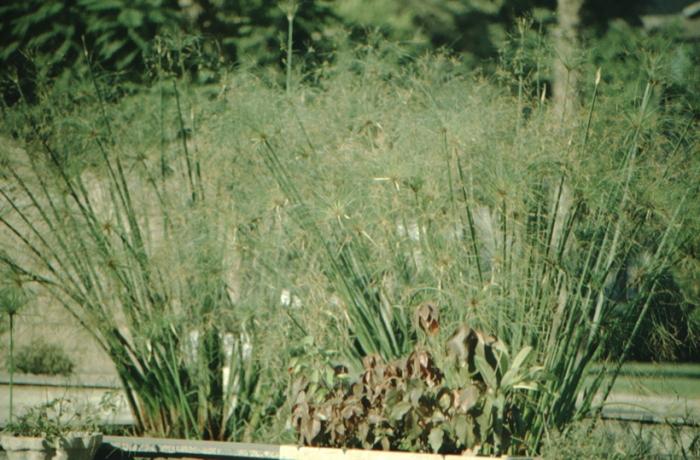 Kairo, Papyrus-Pflanze