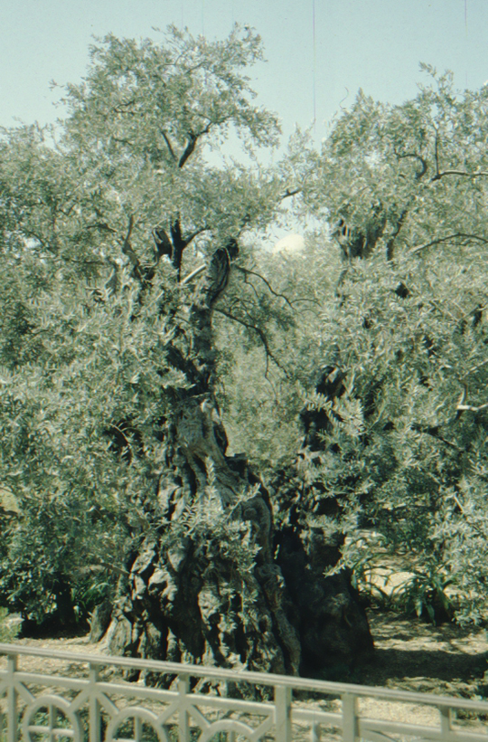 Jerusalem, Ölberg, alter Ölbaum