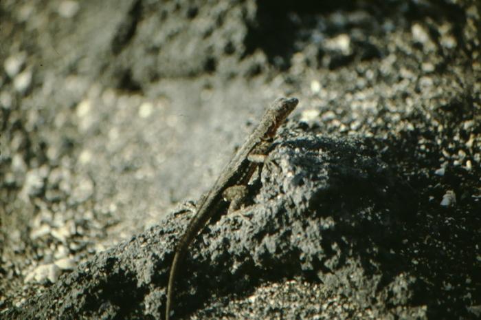 Lavaeidechse, Fernandina, Galapagos August 1989