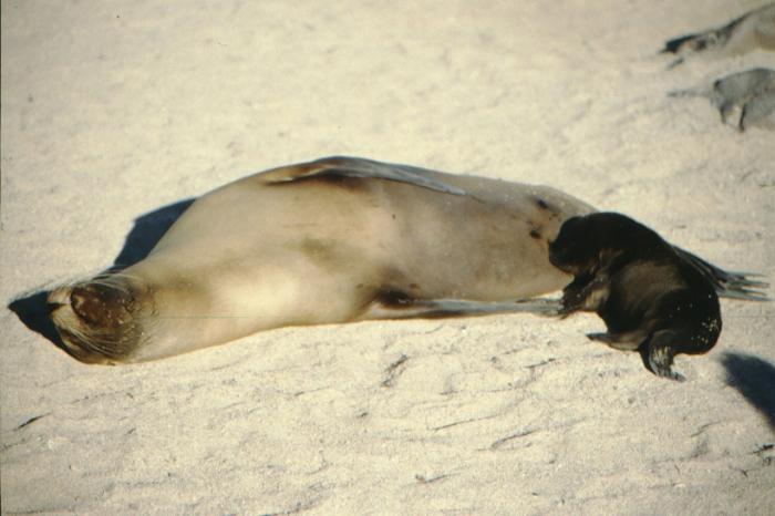 Seelöwin, Baby, Nordseymor, Galapagos August 1989