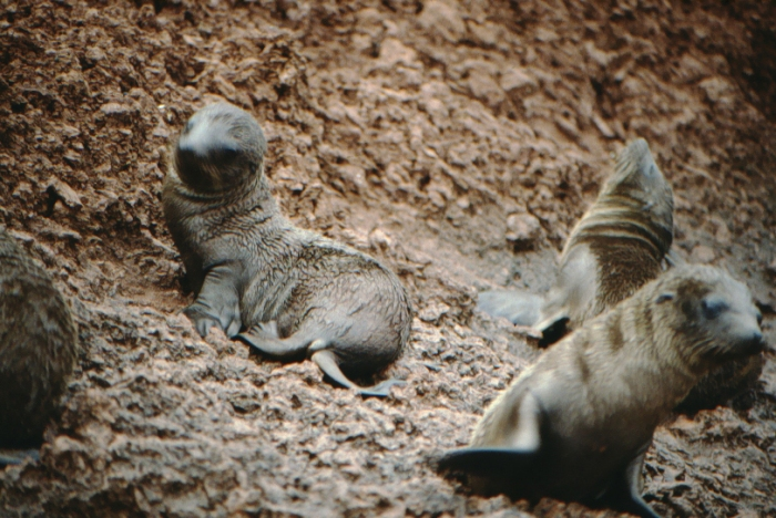Seelöwenbabys, Rápida, Galapagos August 1989