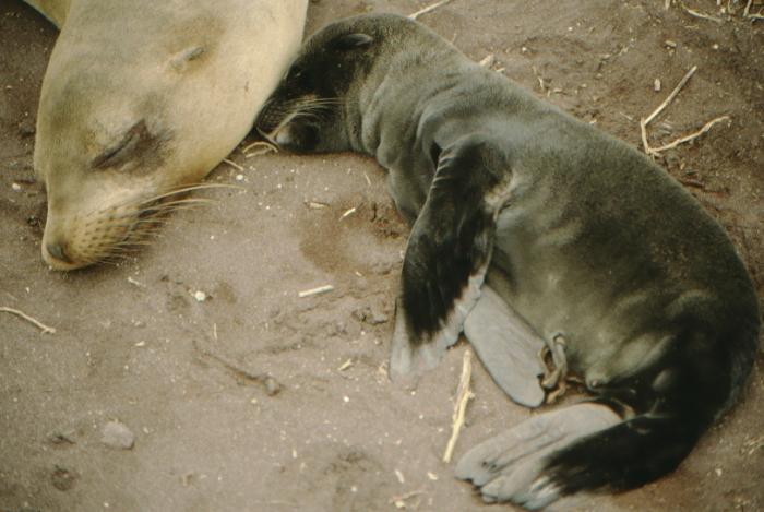 Seelöwenbaby, jünger als eine Woche, Rápida, Galapagos August 1989