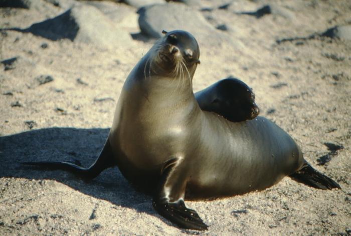 Seelöwen, Nordseymor, Galapagos August 1989