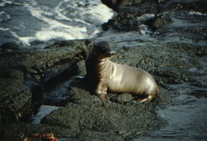 Seelöwenjunges, Fernandina, Galapagos August 1989