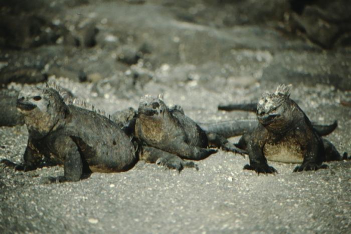 Meerechsen, Fernandina, Galapagos August 1989