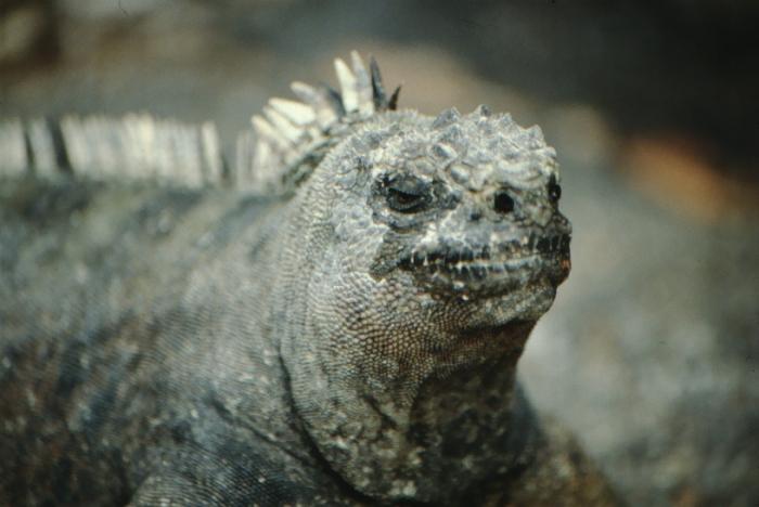 Meerechse, Fernandina, Galapagos August 1989