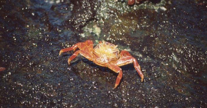 Rote Felsenkrabbe, Isabela, Galapagos