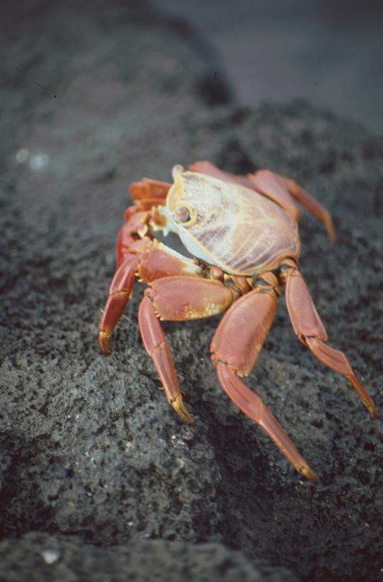 Rote Felsenkrabbe, Fernandina, Galapagos