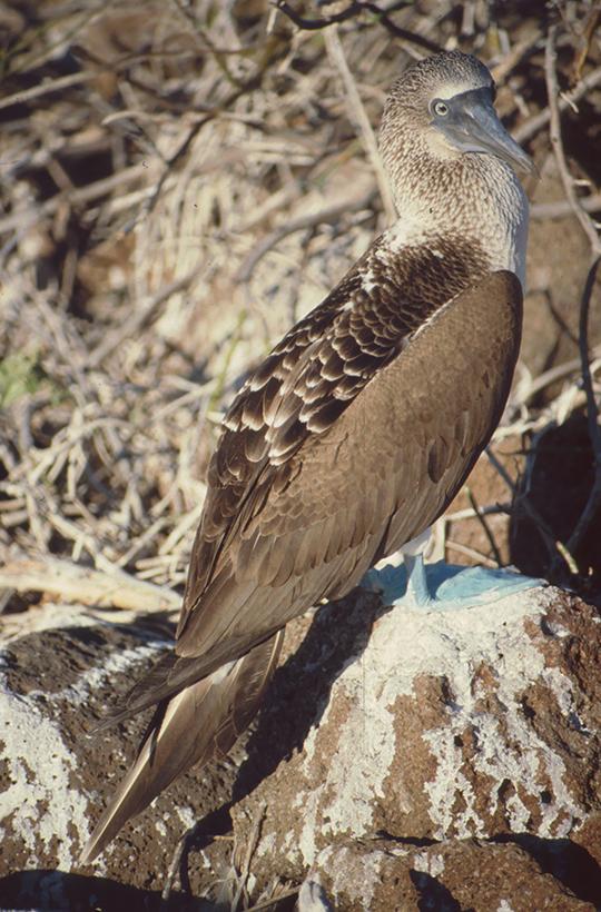 Blaufußtölpel, Nord-Seymor, Galapagos