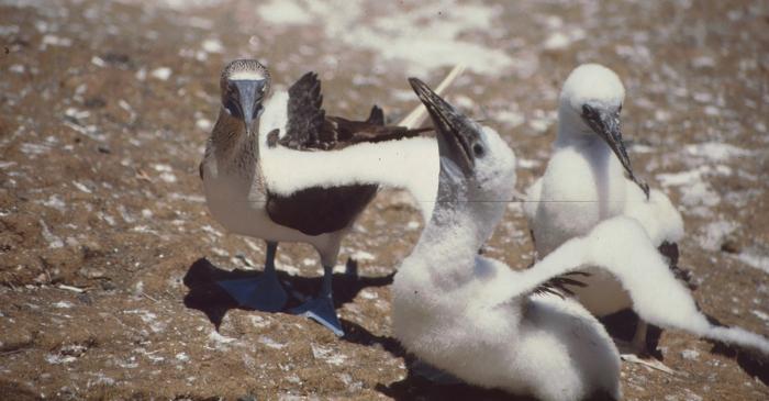 Junge Blaufußtölpel, Isabela, Galapagos