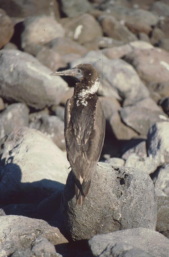 Nord-Seymor, Galapagos