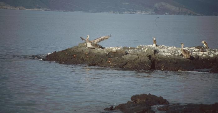 Pelikane und Blaufußtölpel, Rápida, Galapagos