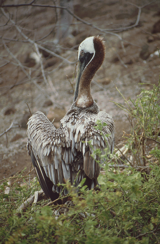 Pelikan, Rápida, Galapagos