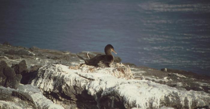 Kormoran, Fernandina, Galapagos
