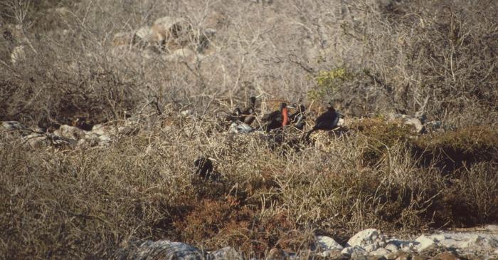 Bindenfregattvögel, Nord-Seymor, Galapagos