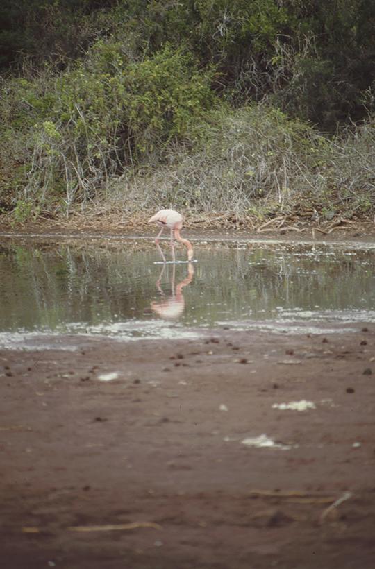 Flamingo, Rápida, Galapagos
